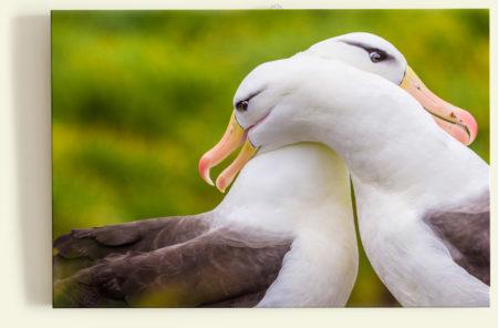 Albatros (Malouines)