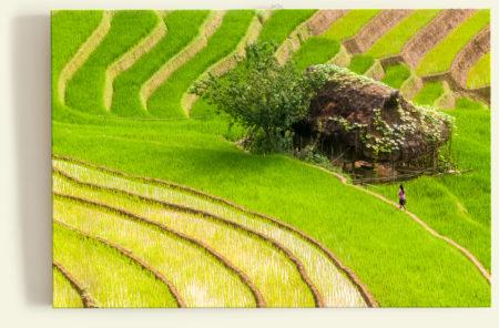 Rizières (Vietnam)