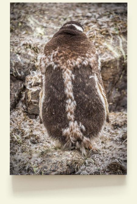 Mue du Manchot papou (Antarctique)