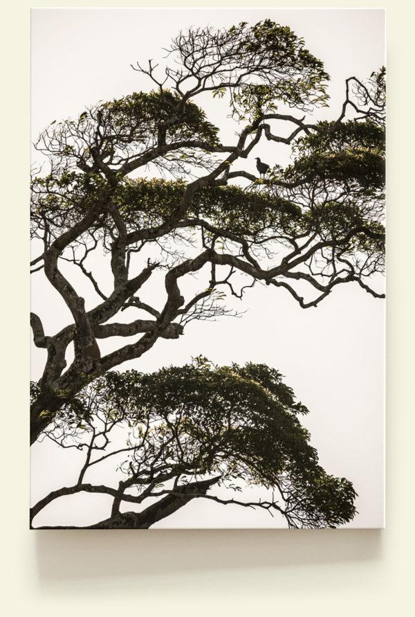 Urubu (Guyane)